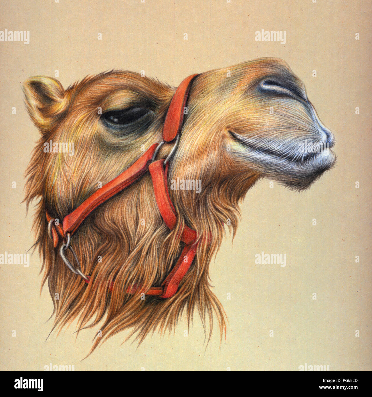 Camel Portrait, Colored Pencil Stock Photo: 216501669 - Alamy