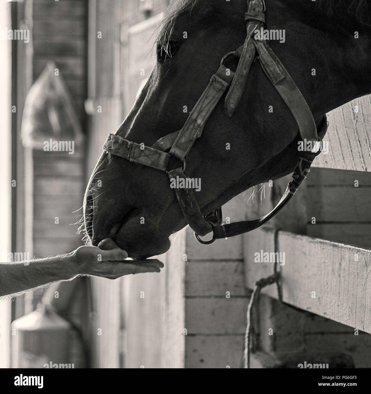 Male hand feeding a beautiful horse with a carrot on the local ranch black and white portrait - Stock Image
