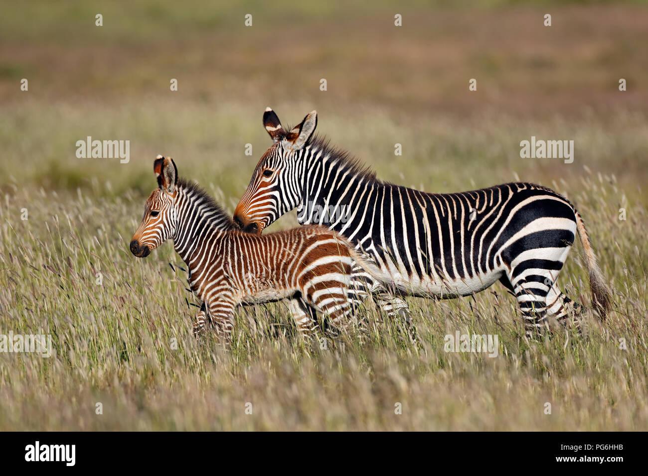 Cape mountain zebra (Equus zebra) mare with foal, Mountain Zebra National Park, South Africa - Stock Image