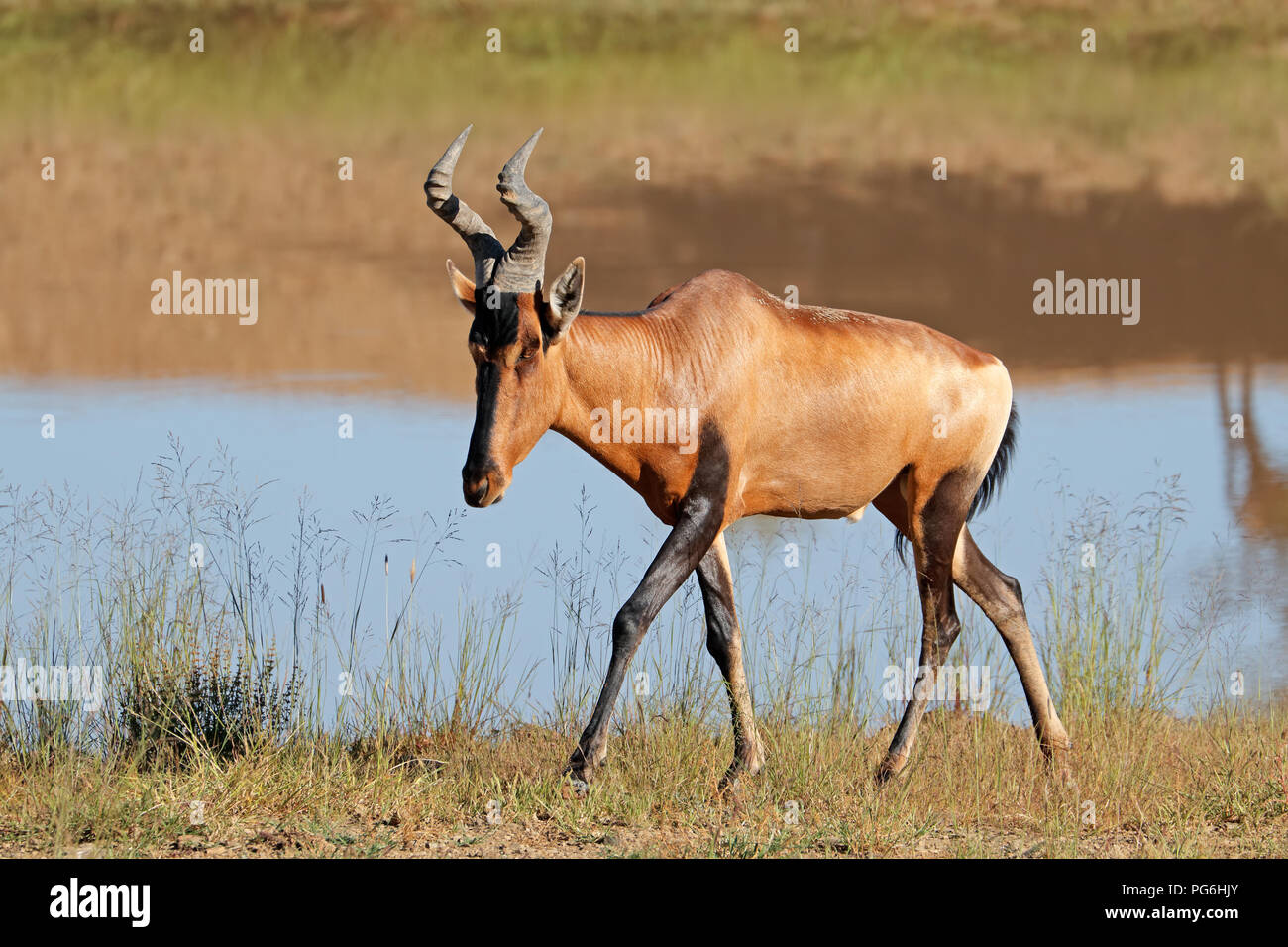 A red hartebeest antelope (Alcelaphus buselaphus) in natural habitat, South Africa - Stock Image