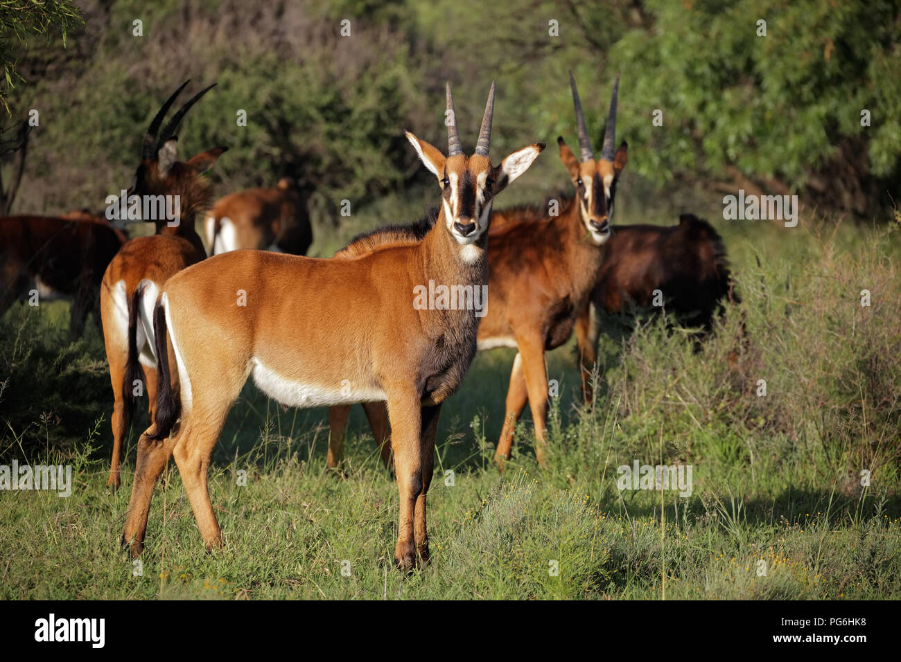 A family group of sable antelopes (Hippotragus niger) in natural habitat, South Africa - Stock Image