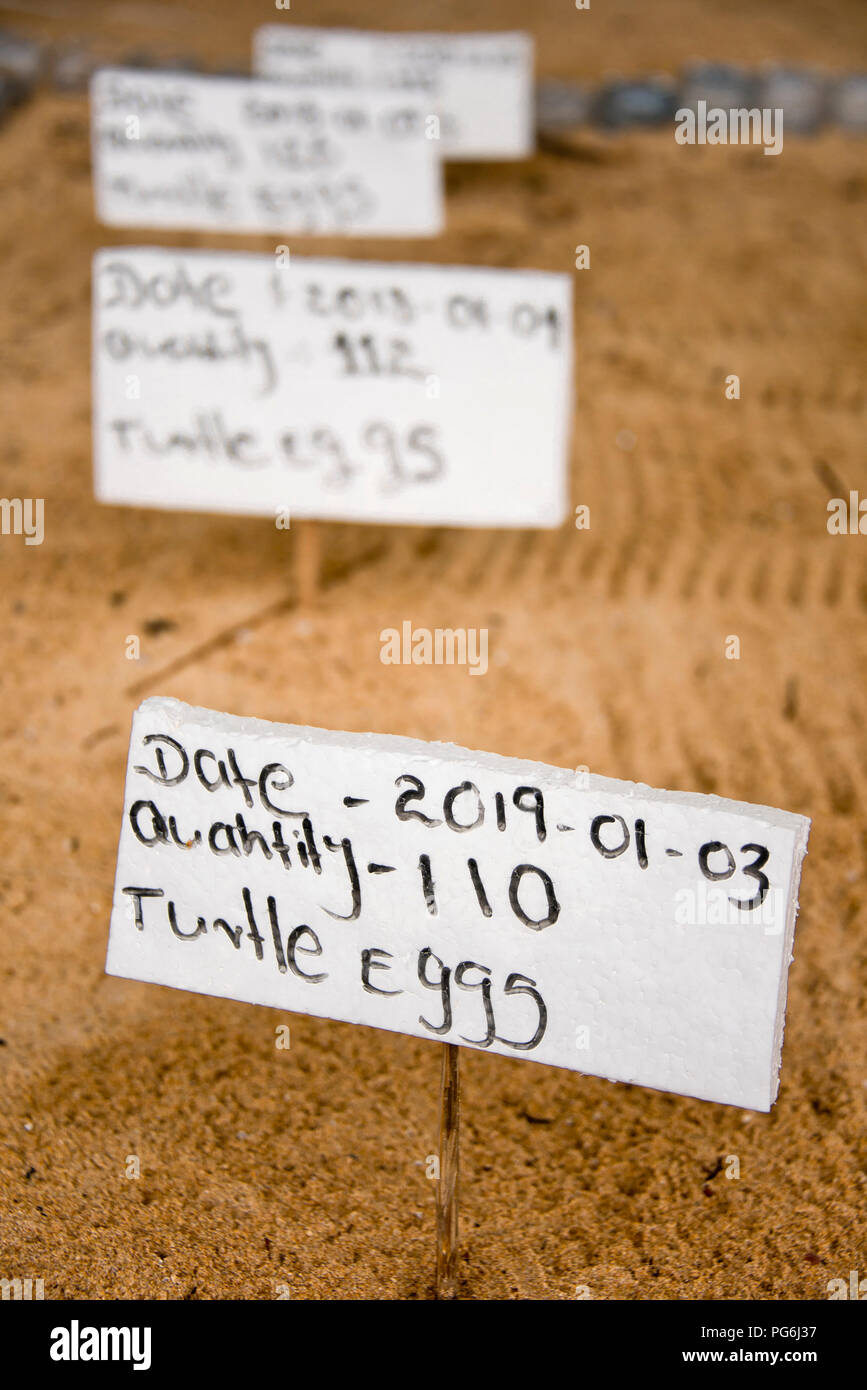 Vertical close up of labels showing precise positions of clutches of turtle eggs on the beach in Sri Lanka. - Stock Image
