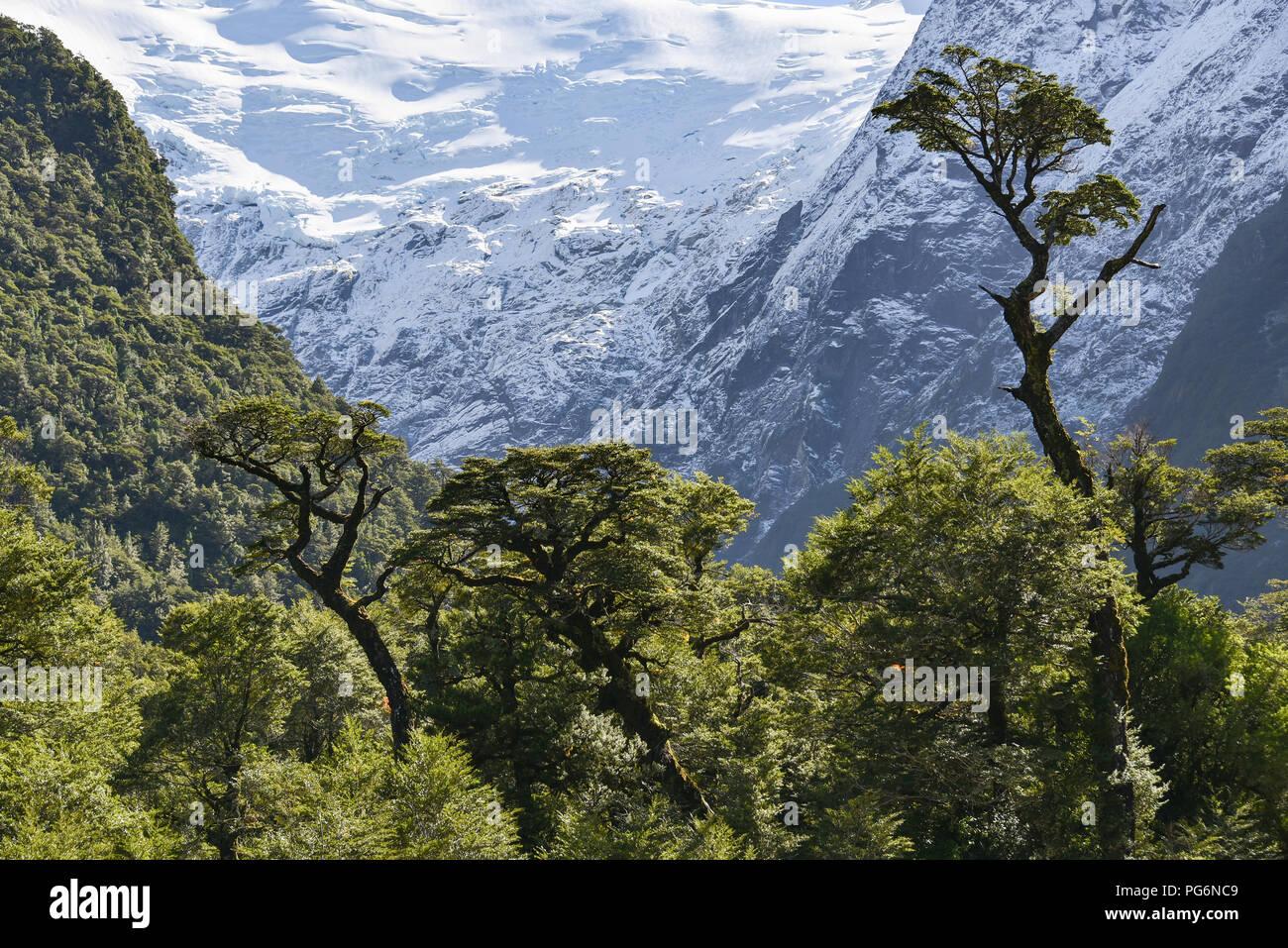 El Bosque Encantado, enchanted or Charmed Forest with Queulat Glacier, Carratera Austral, Queulat National Park, Cisnes, Aysen - Stock Image
