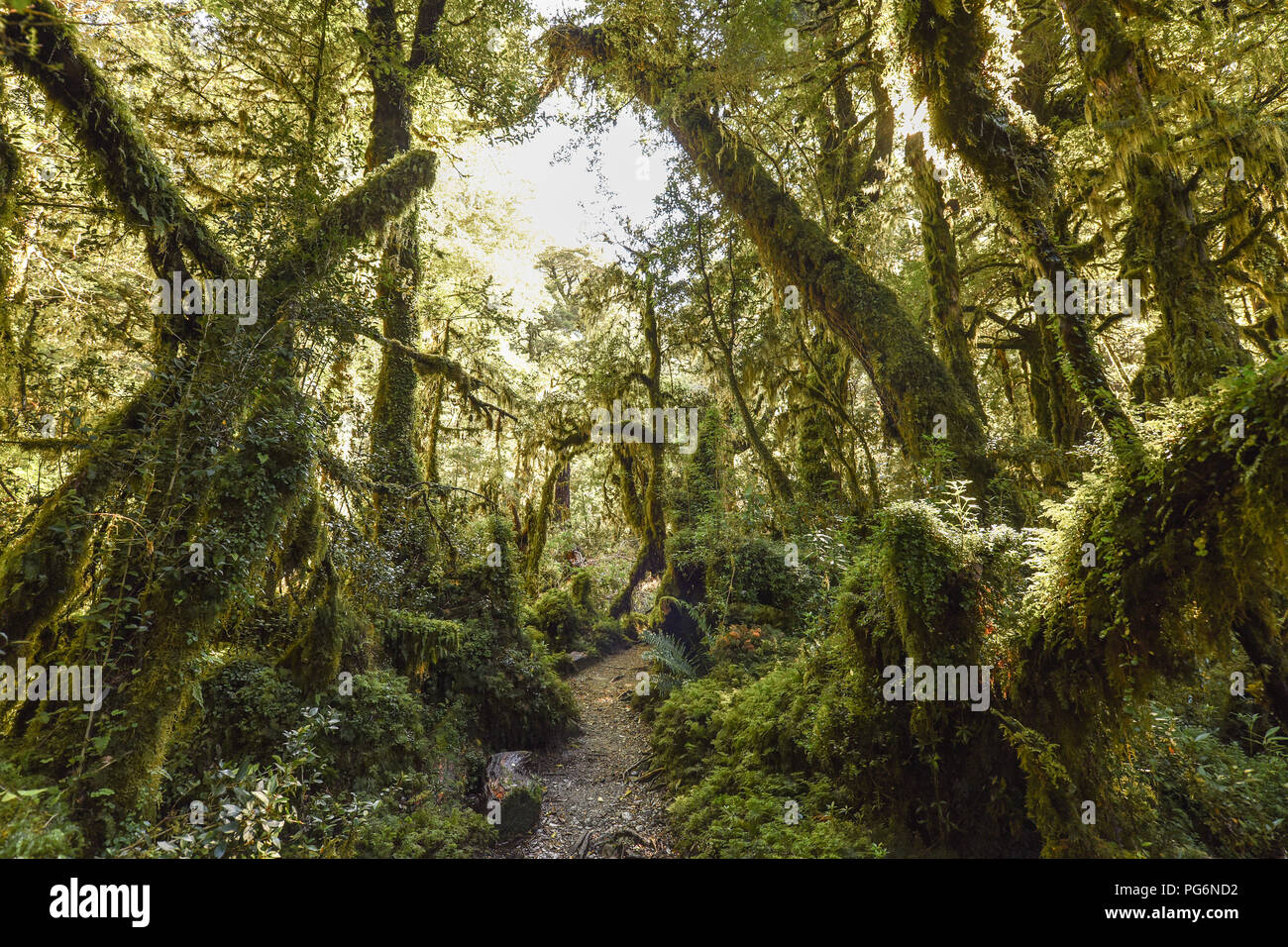 El Bosque Encantado, enchanted or bewitched forest, temperate rainforest with moss and lichen, Carratera Austral, Queulat Stock Photo