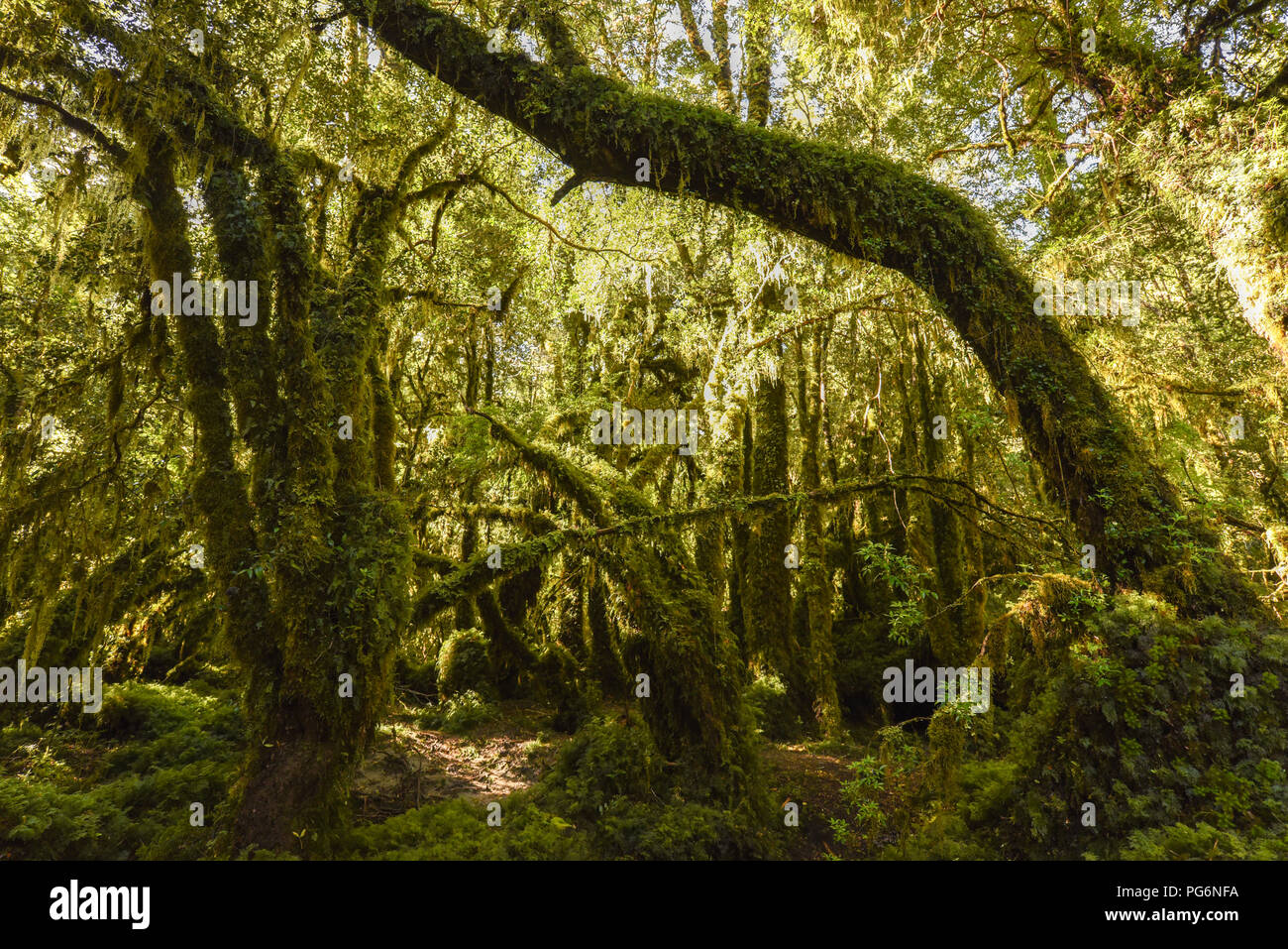 El Bosque Encantado, enchanted or bewitched forest, temperate rainforest with moss and lichen, Carratera Austral, Queulat - Stock Image