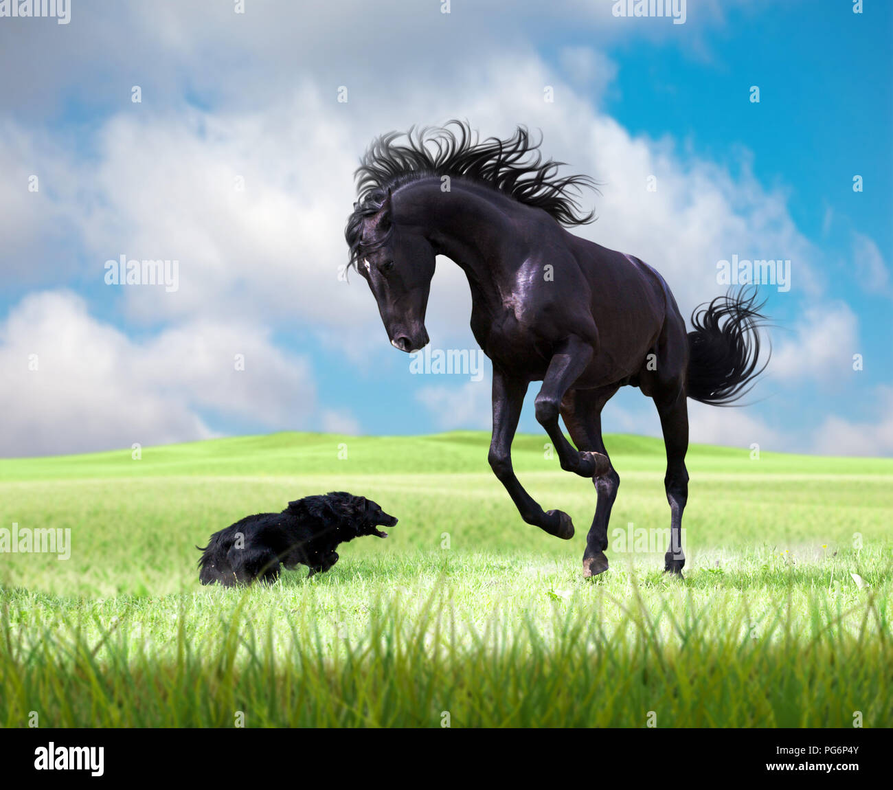 Black horse playing with the black dog on the green grass on the cloudy sky background - Stock Image