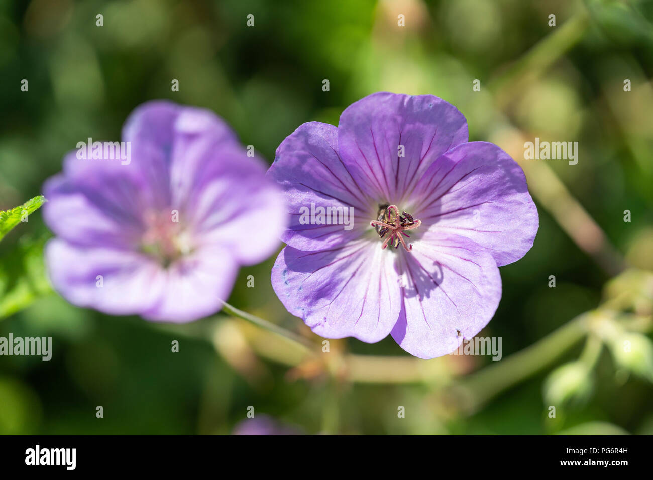 Lavender coloured azure rush flowers,' Azure Rush' geraniums hail from Germany where they were discovered in 2007 as a mutation on Geranium 'Rozanne' - Stock Image