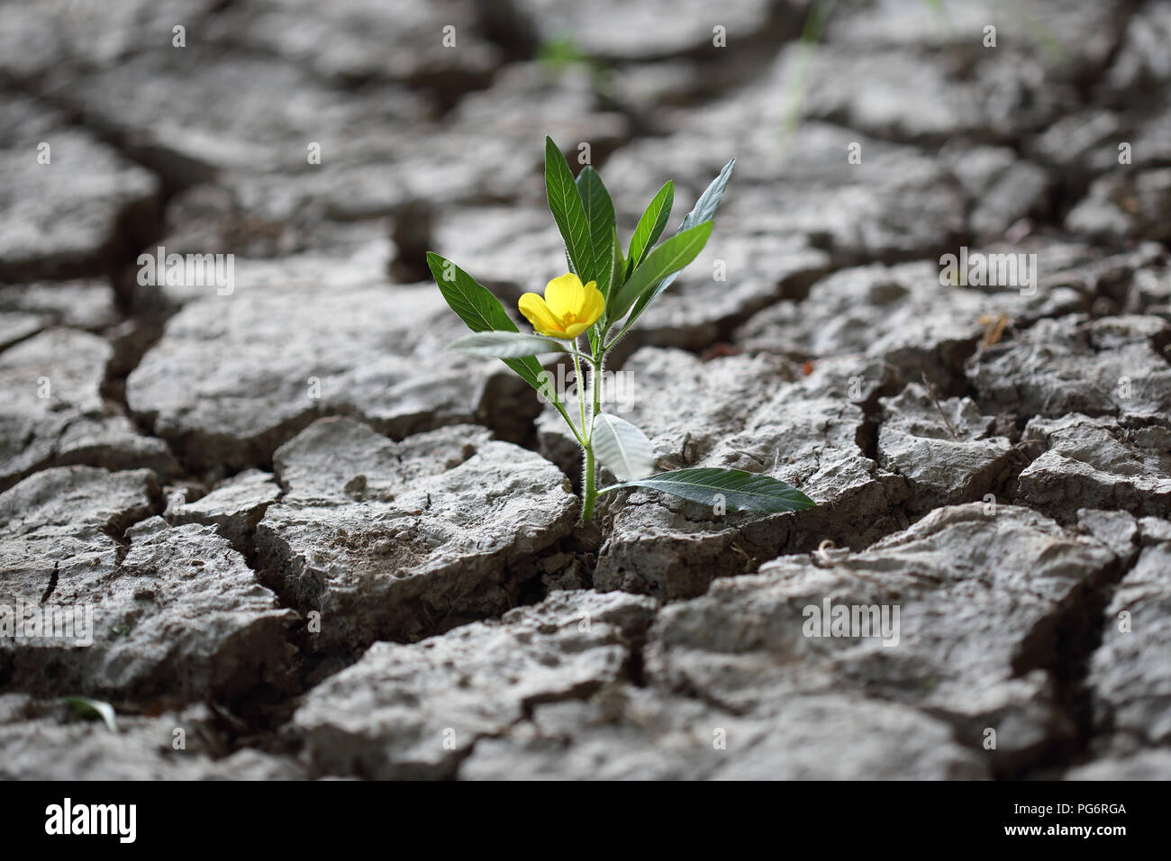 A Flourishing flower fighint through dried earth soil - Stock Image