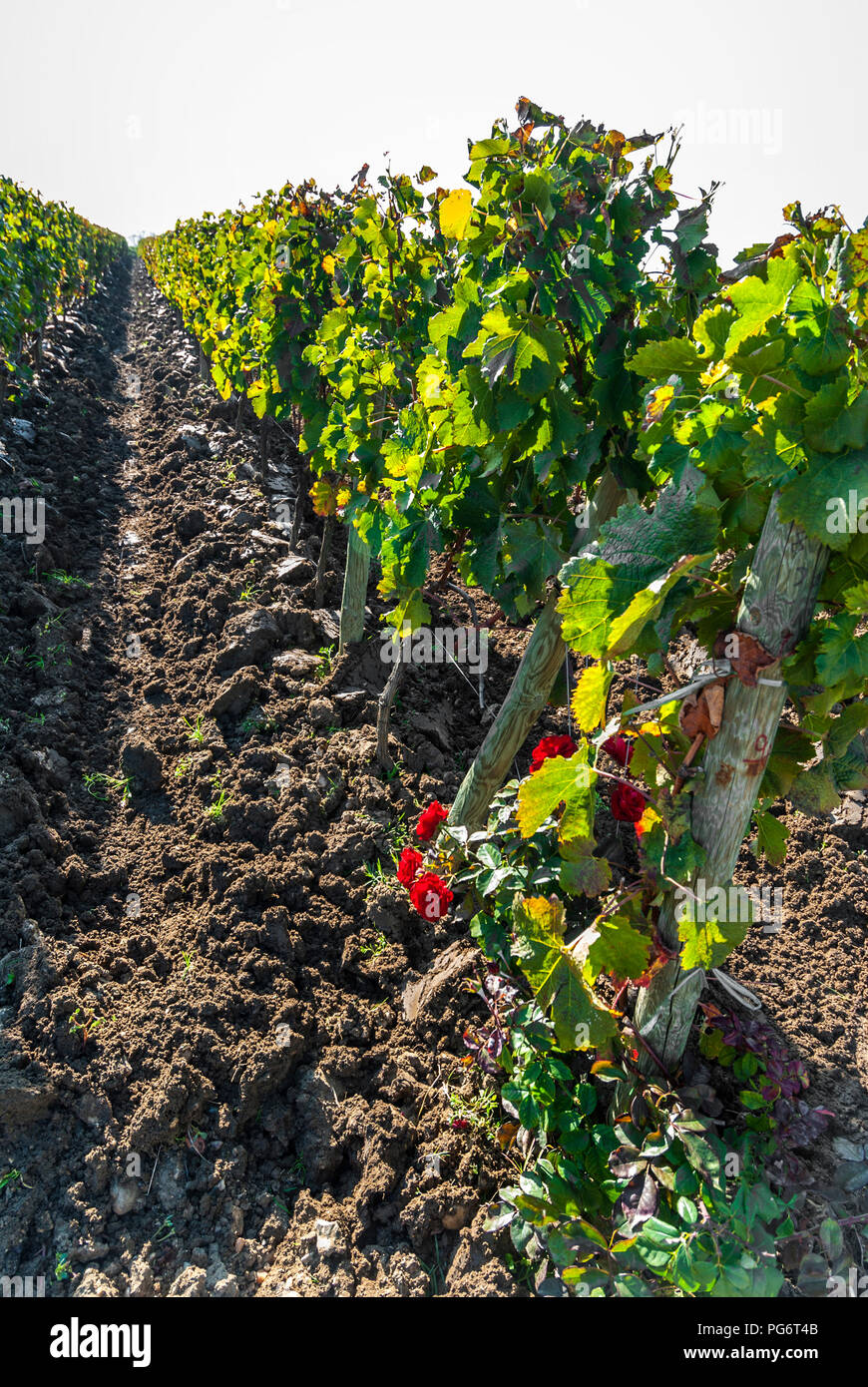Chateau Petrus vineyard post harvest, viticulture continues with the unique quality ground earth aerated and turned by plough Pomerol Bordeaux France - Stock Image