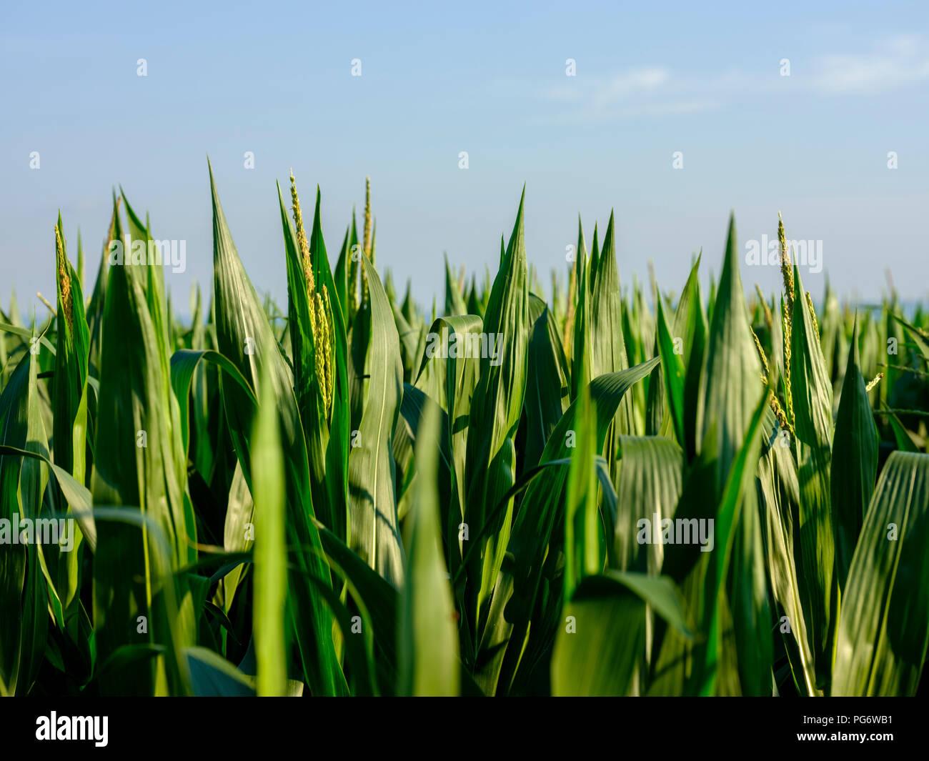 Serbia, Vojvodina. Green corn male flowers, zea mays - Stock Image
