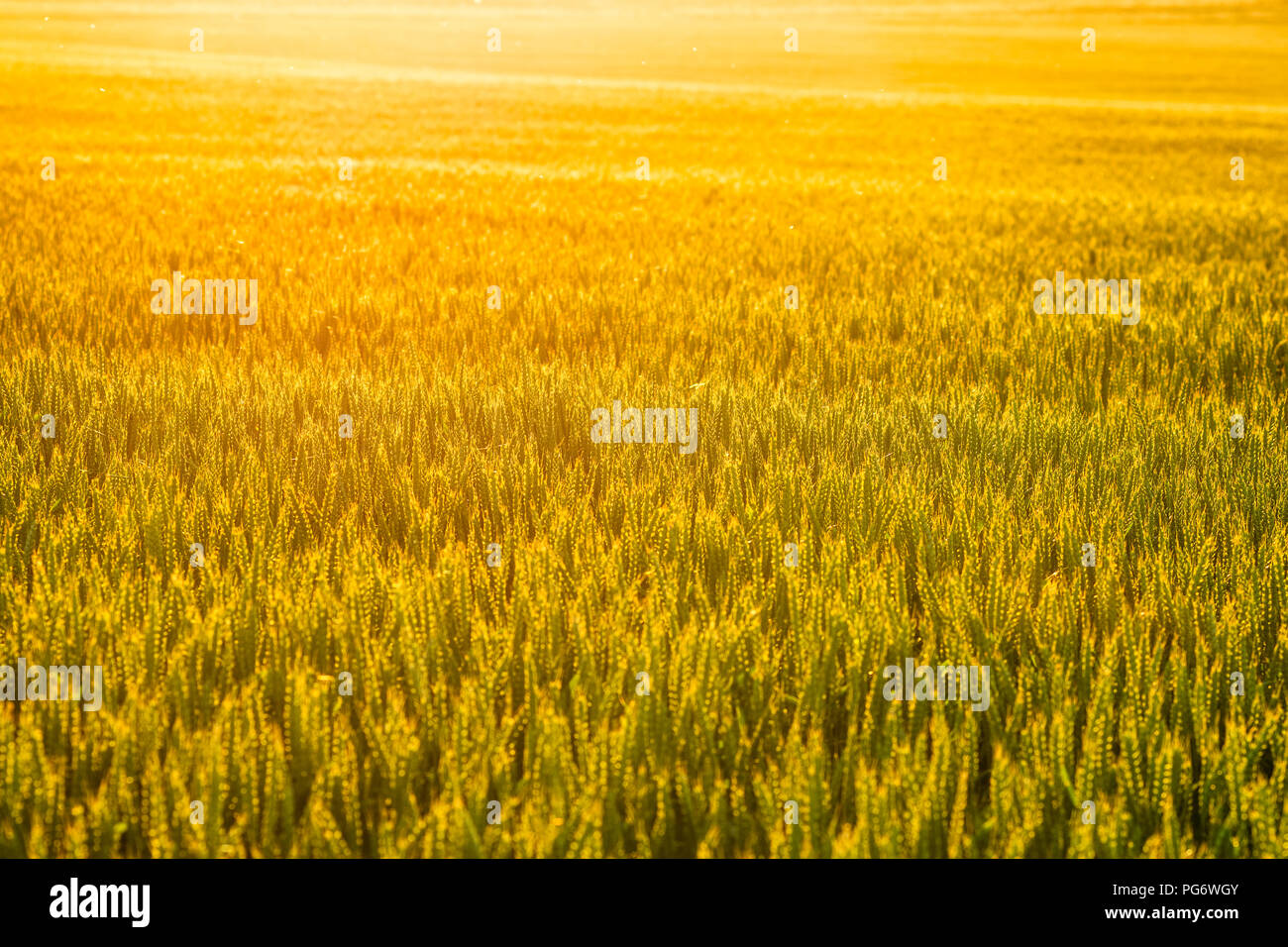 UK, Scotland, East Lothian, Sunset at the end of a hot day glows through a field of wheat (Triticum) Stock Photo