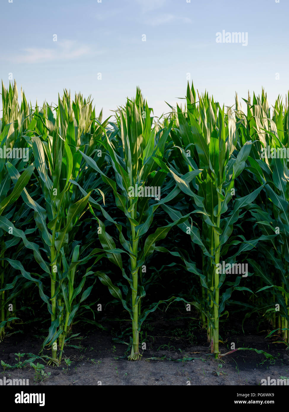 Serbia, Vojvodina. Green corn stems in a row, Zea mays - Stock Image