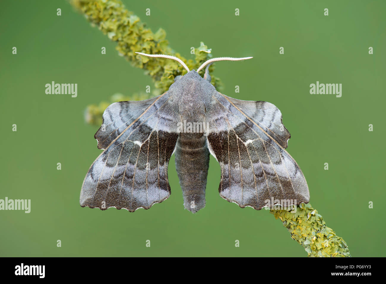 Poplar Hawk-moth on twig - Stock Image