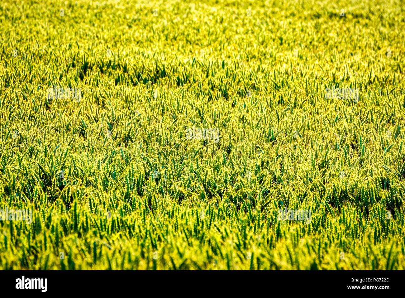 UK, Scotland, East Lothian, field of Wheat (Triticum) - Stock Image