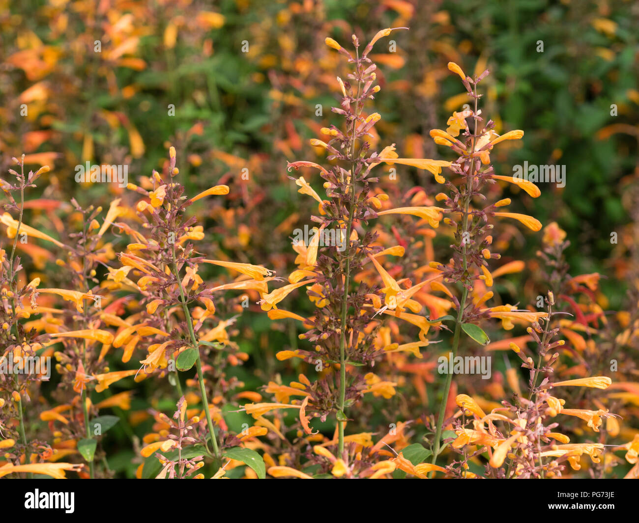 Tubular, pale orange flowers of the tender giant hyssop, Agastache aurantiaca 'Apricot Sprite', are carried summer long - Stock Image