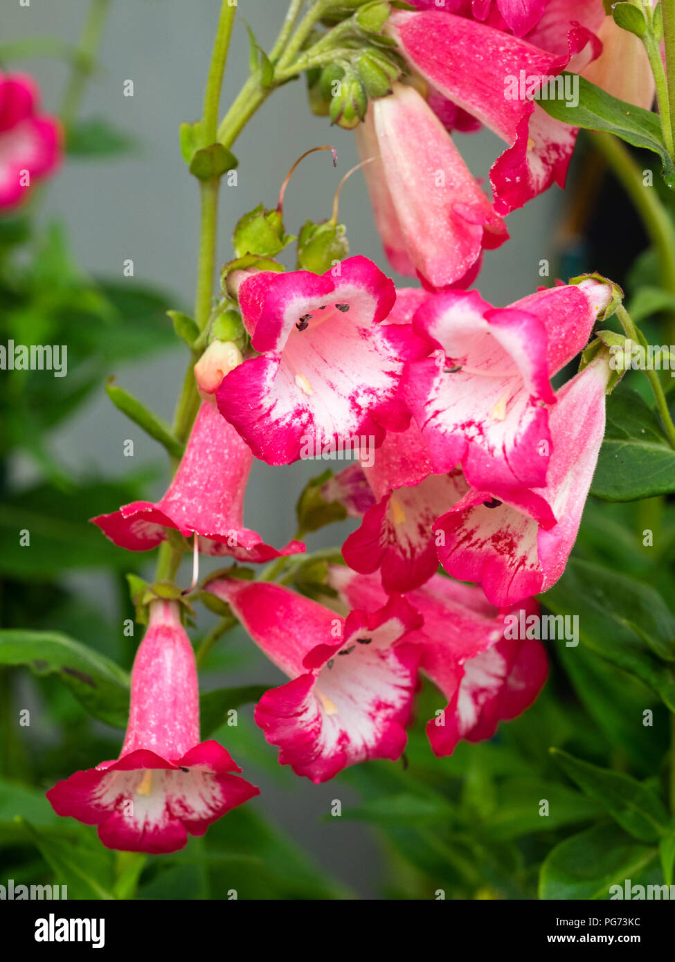 Tubular White Flowers Stock Photos Tubular White Flowers Stock