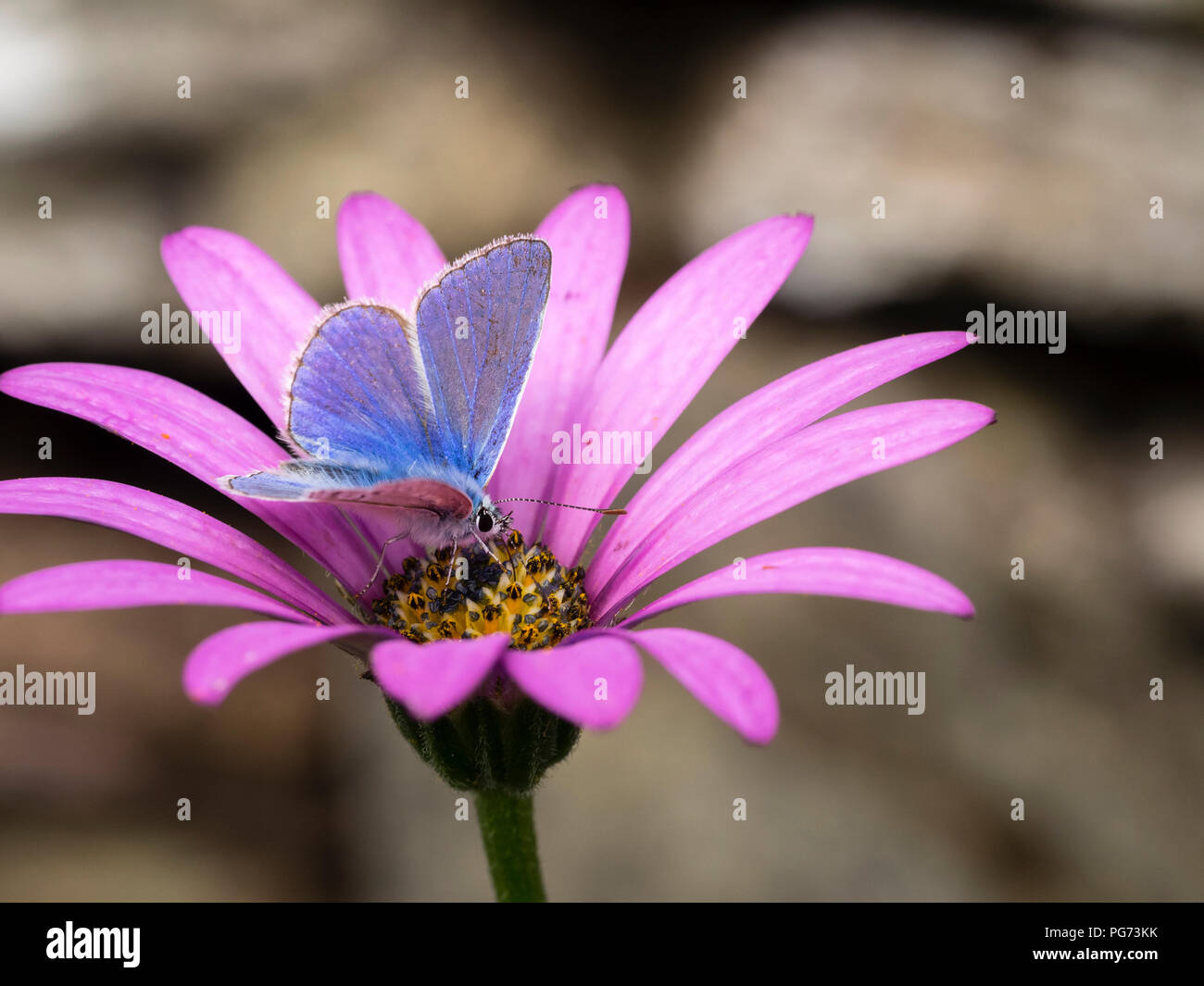Male common blue butterfly, Polyommatus icarus, feeding on the nectar of the cape daisy, Osteospermum 'Tresco Purple' - Stock Image