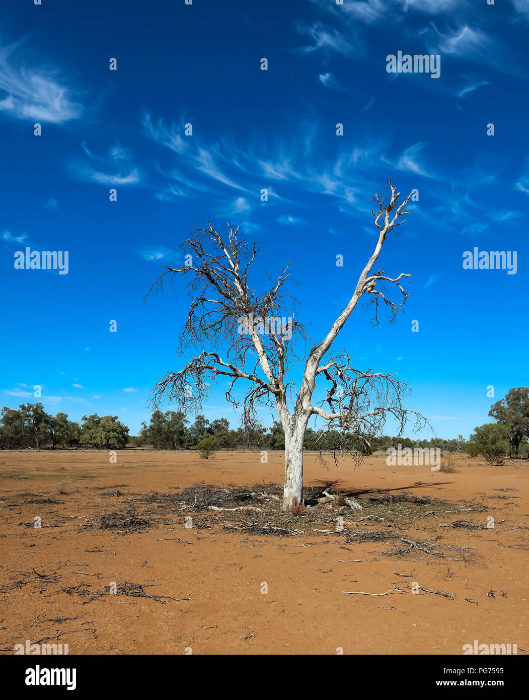 Dead Tree, blue sky and wispy clouds in the Australian outback - Stock Image