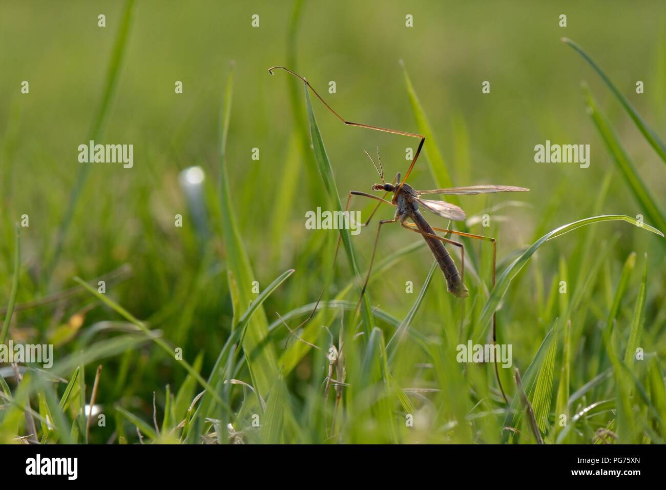 Male Common European Crane fly / Daddy long legs (Tipula paludosa) recently emerged, resting on grass in riverside water meadow, Wiltshire, September - Stock Image
