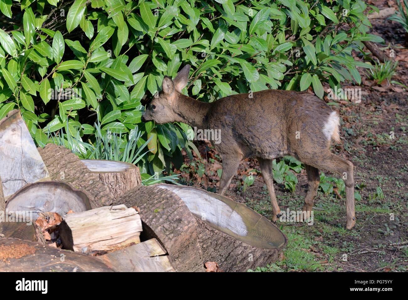Roe deer doe (Capreolus capreolus) grazing a Cherry laurel bush (Prunus laurocerasus) in a garden, Wiltshire, March. - Stock Image