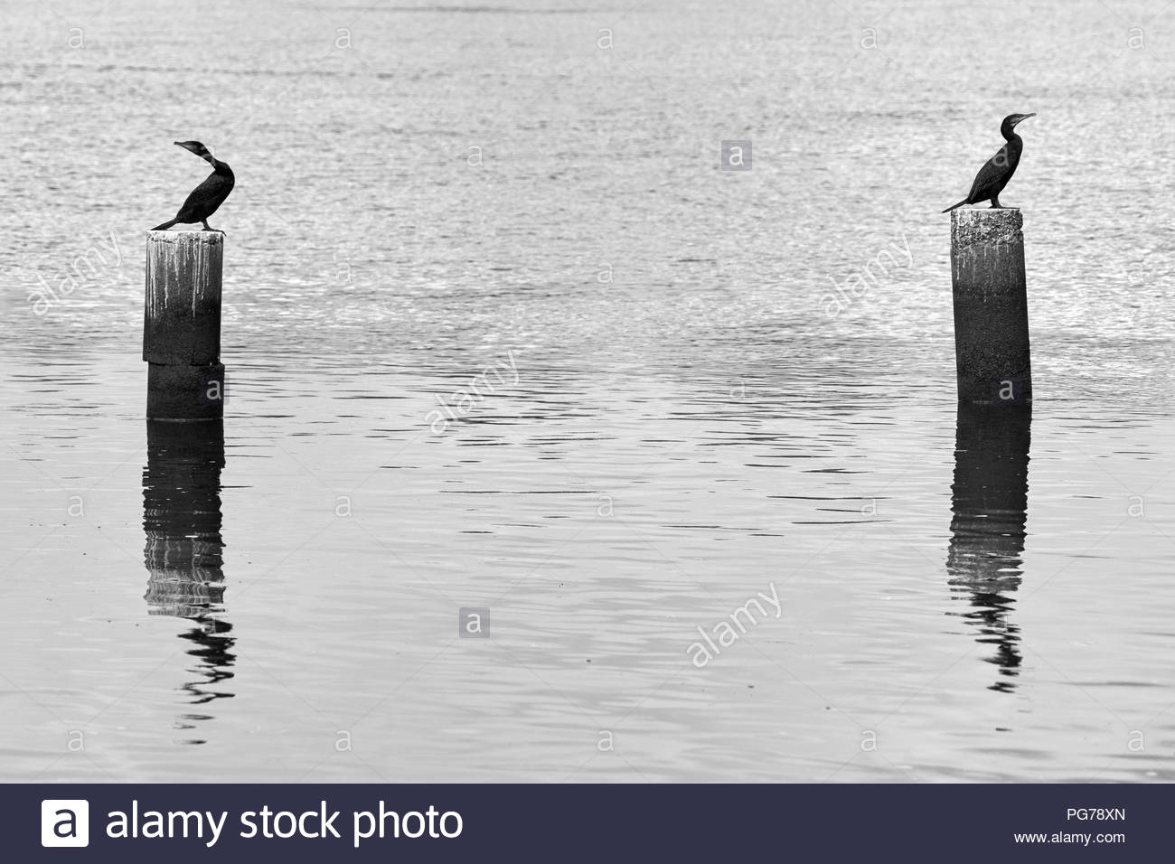 B/W image of Little Black Cormorants(Phalacrocorax sulcirostris), perching atop large wooden posts, in the Clarence River at Lawrence, NSW, Australia. - Stock Image