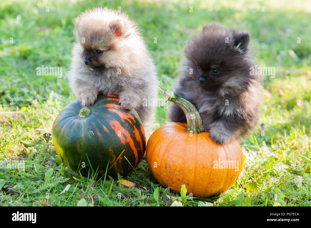 two funny pomeranian dogs and pumpkin, halloween background stock