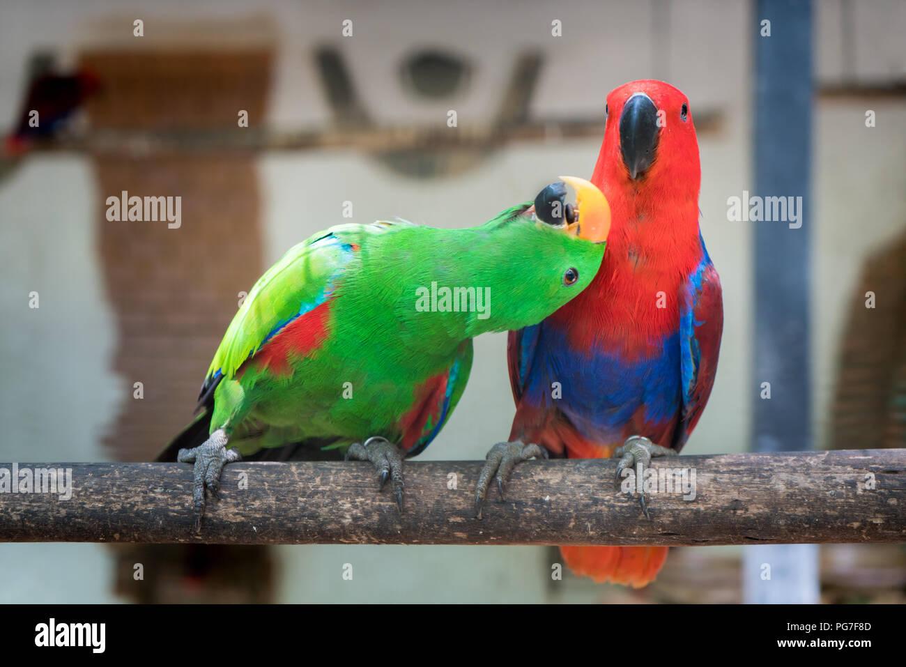 Alexandrine Parrots Stock Photos & Alexandrine Parrots Stock