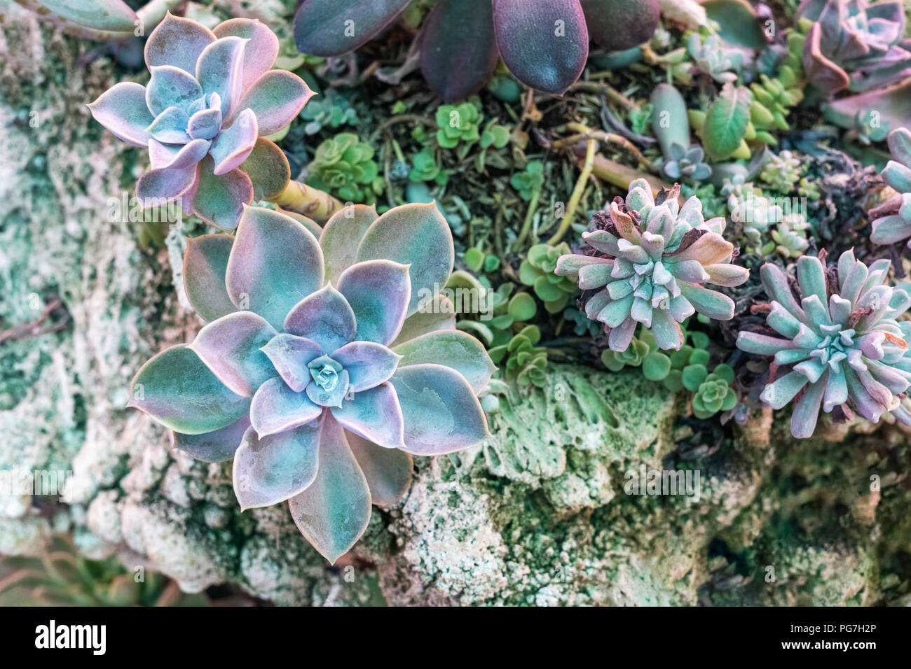 Close Up Top View Of Variety Succulent Plants Arrangement With Decorative Ornaments On A Grunge Rock Stone Beautiful Nature Wallpaper Background Stock Photo Alamy
