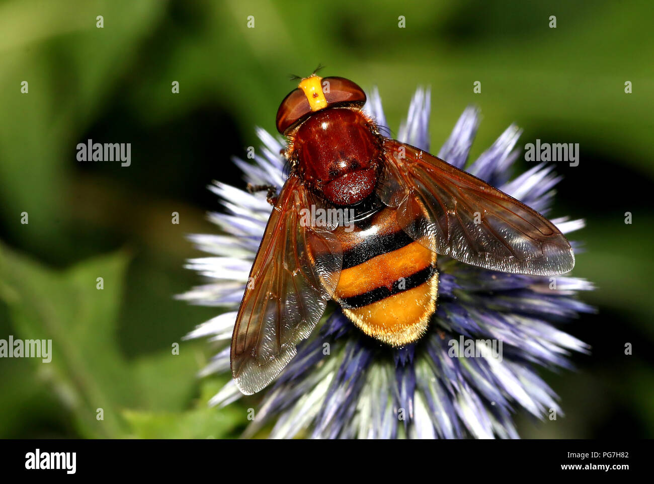 European Hornet mimic hoverfly (Volucella zonaria). Stock Photo