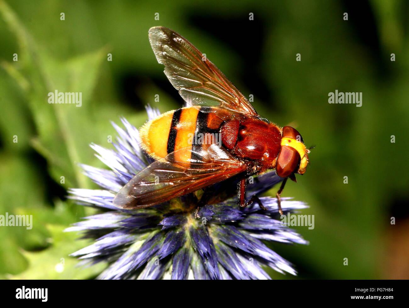 European Hornet mimic hoverfly (Volucella zonaria). Stock Photo