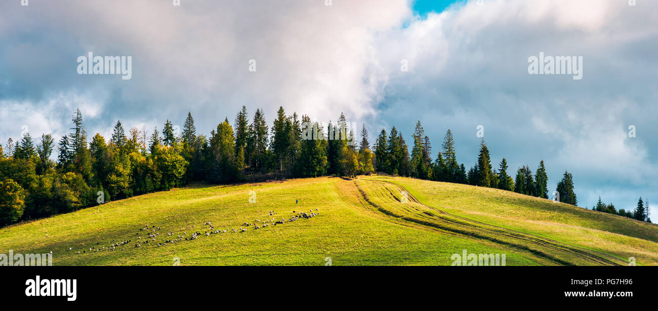 road uphill in to the forest. beautiful countryside panoramic scenery. herd of sheep grazing on the meadow. Stock Photo