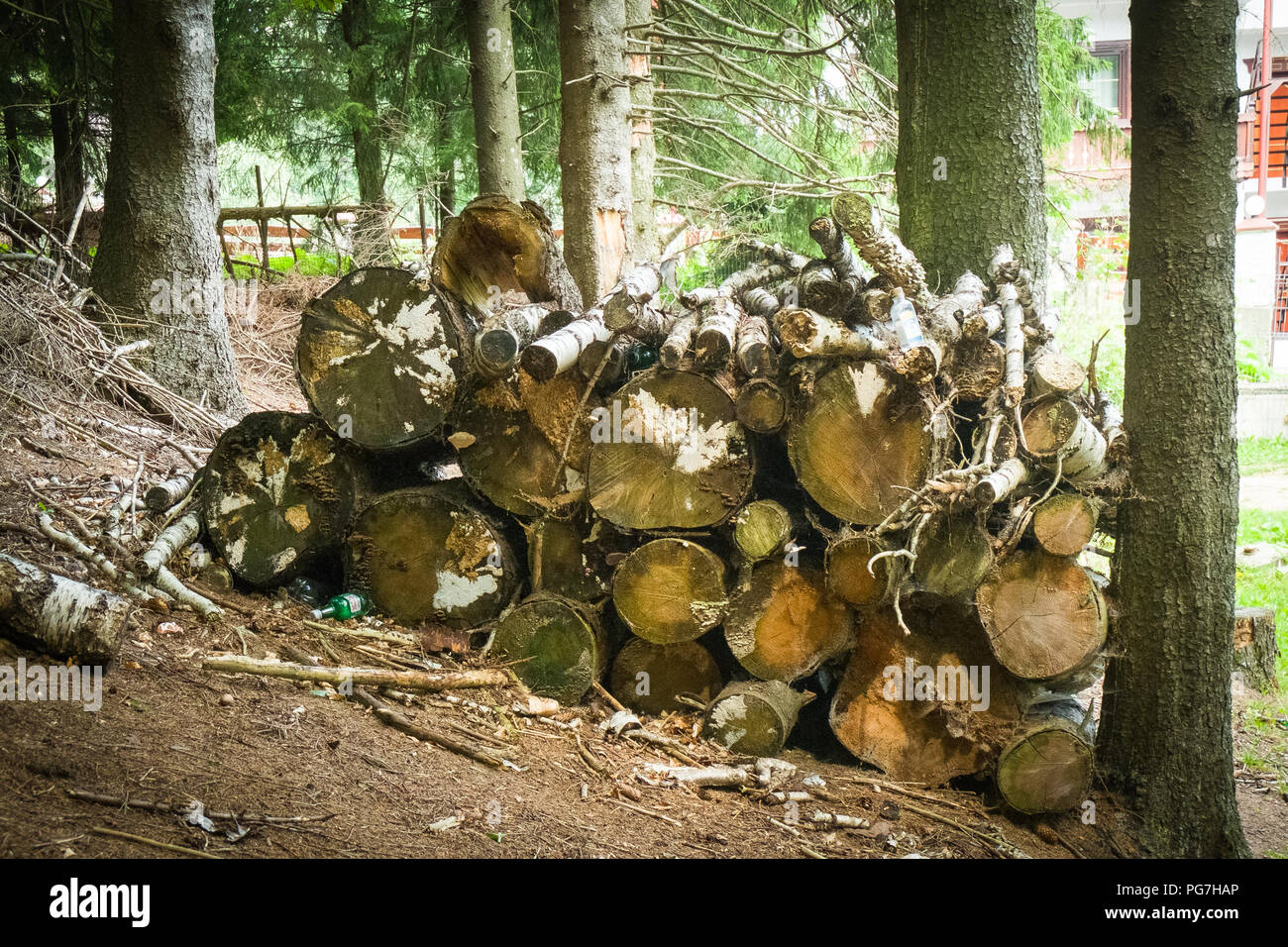 Conifers forest, firewood. - Stock Image