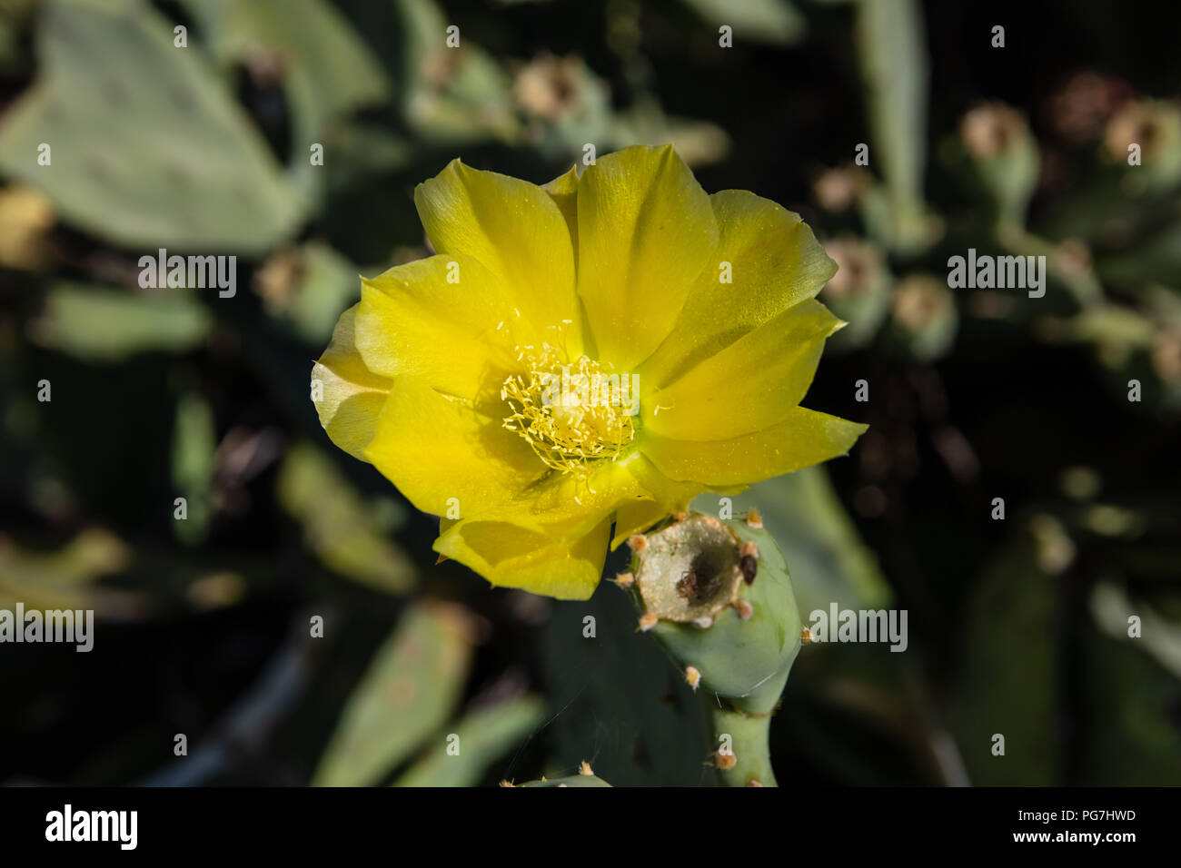Close up of prickle pear cactus flower on a blurry background, wallpaper. - Stock Image