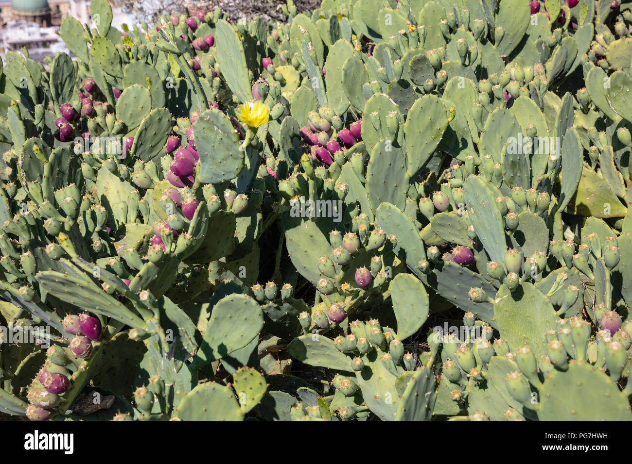 Close up of prickle pears fruits background, wallpaper. - Stock Image
