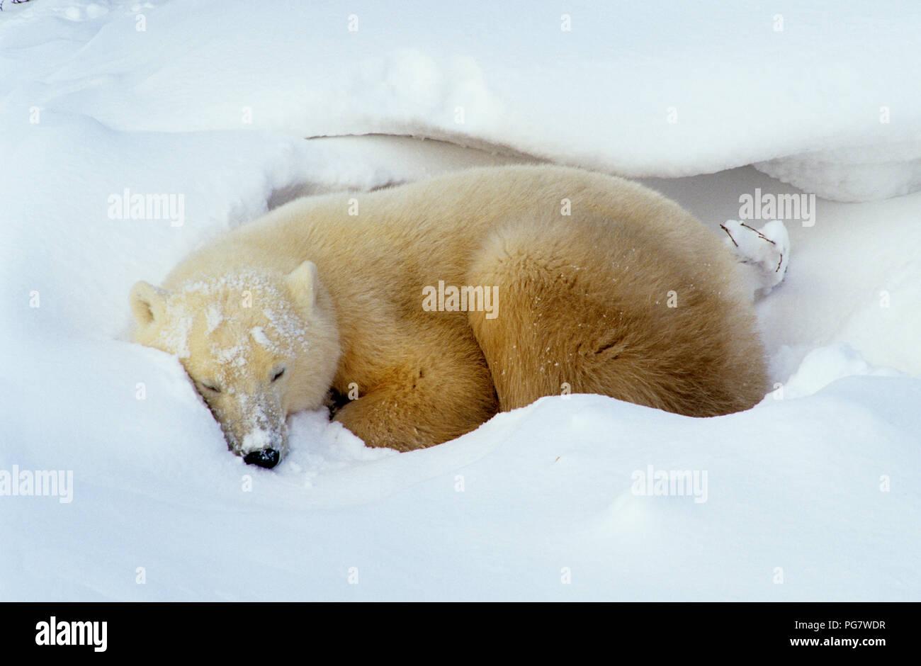 Polar bear (Ursus maritimus) in day bed near Churchill, Manitoba, Canada Stock Photo