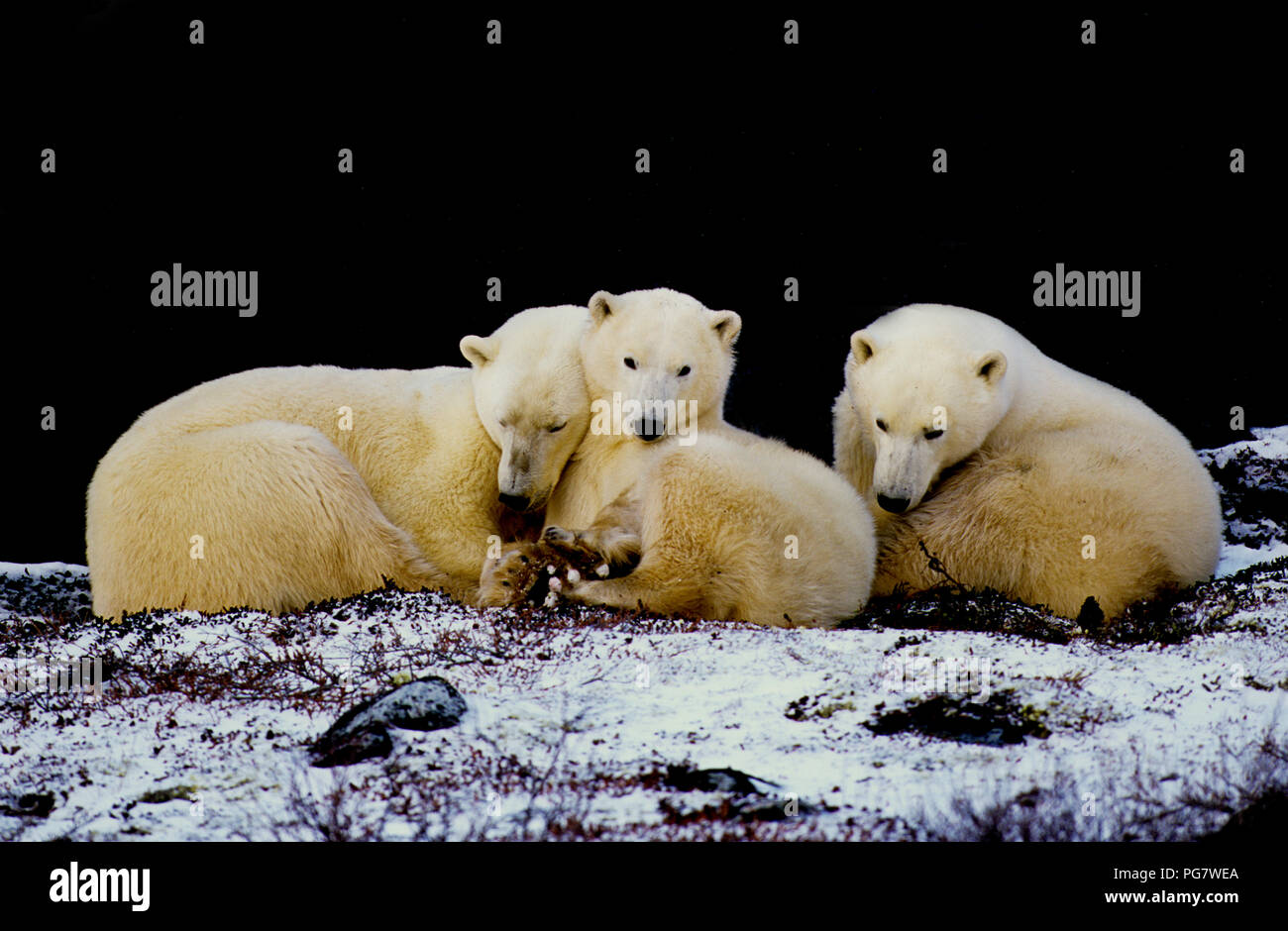Polar bear family (sow with two yearling cubs; Ursus maritimus) resting in the shade of a cliff near Churchill, Manitoba, Canada - Stock Image