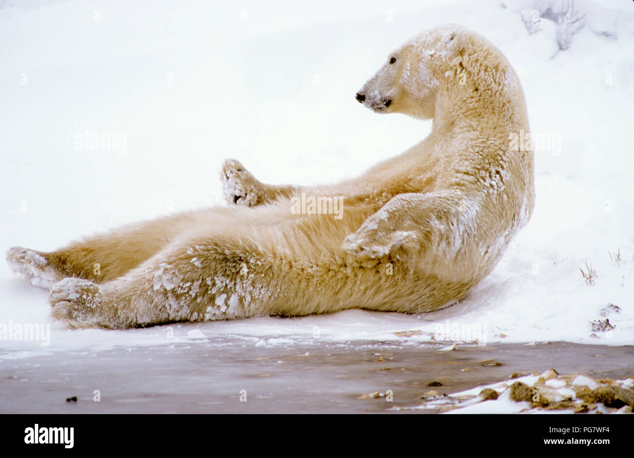 Polar bear (Ursus maritimus) lying on his back near Churchill, Manitoba, Canada - Stock Image