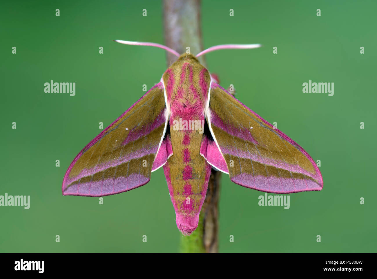 Elephant Hawk-moth on twig - Stock Image