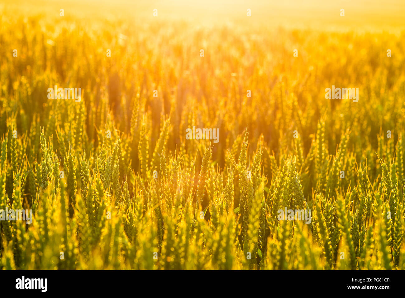 UK, Scotland, East Lothian, Sunset at the end of a hot day glows through a field of wheat (Triticum) - Stock Image