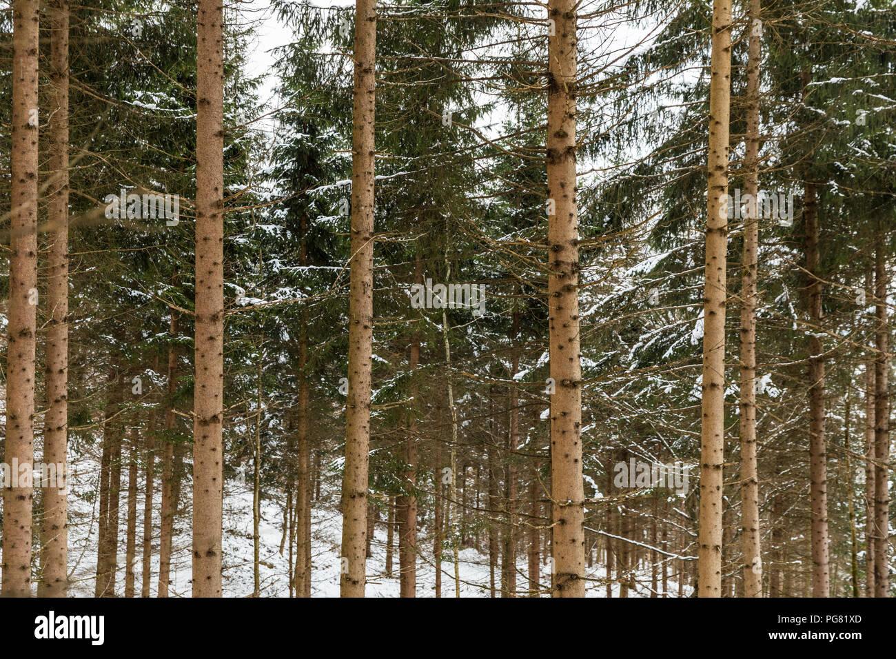 Austria Innsbruck Forest Of Snow Covered Fir Trees Stock Photo