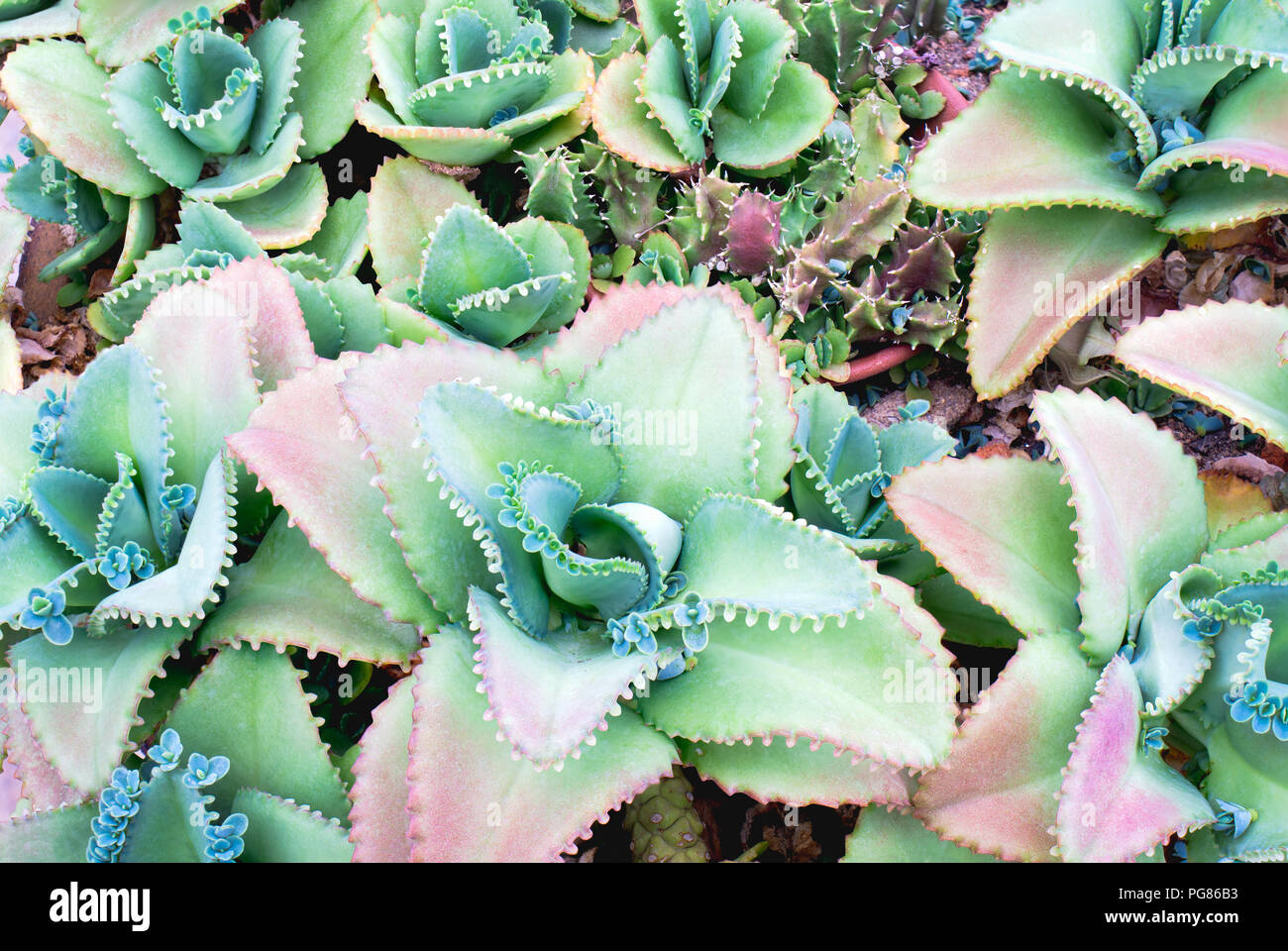 Close Up Of Colorful Succulent Plant Green Nature Wallpaper Background Stock Photo Alamy
