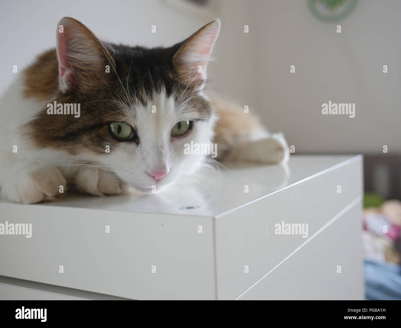 Portrait of cute white and brown cat lying on table at home. - Stock Image