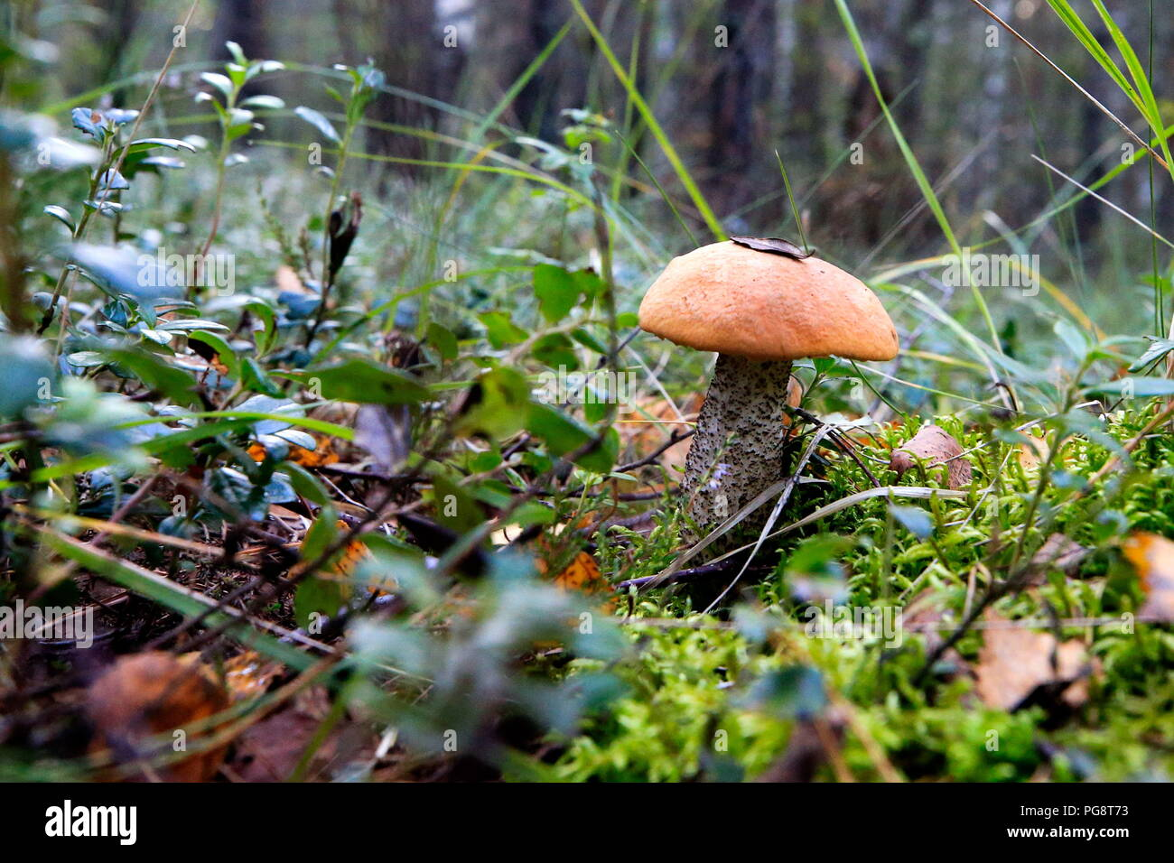 Mushroom places in the Yaroslavl region. Are there mushrooms in the Yaroslavl region