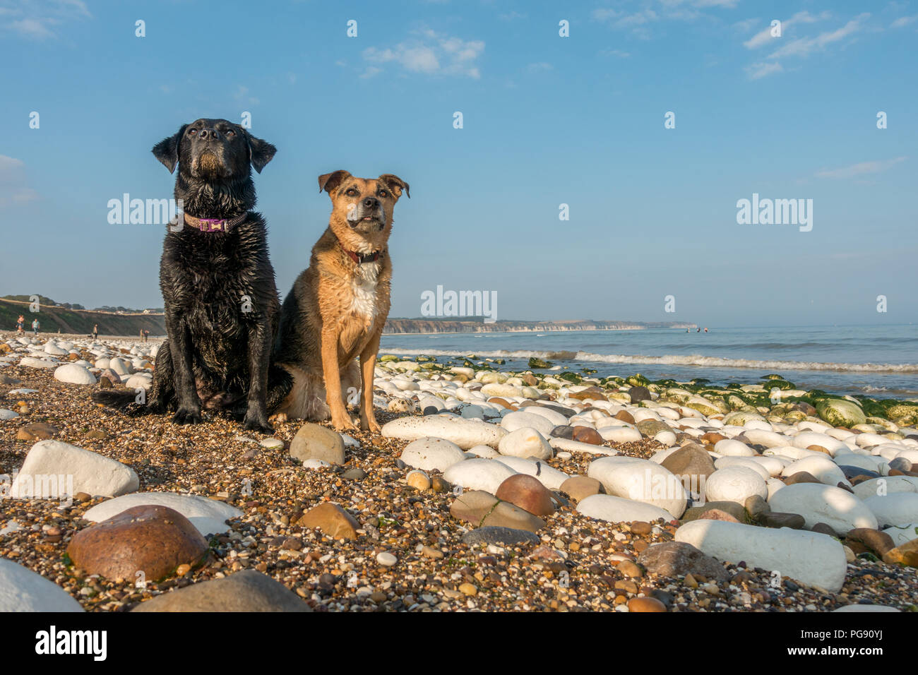 Portrait of two wet, sandy dogs on Bridlington North Beach on a hot summer's day, UK - Stock Image