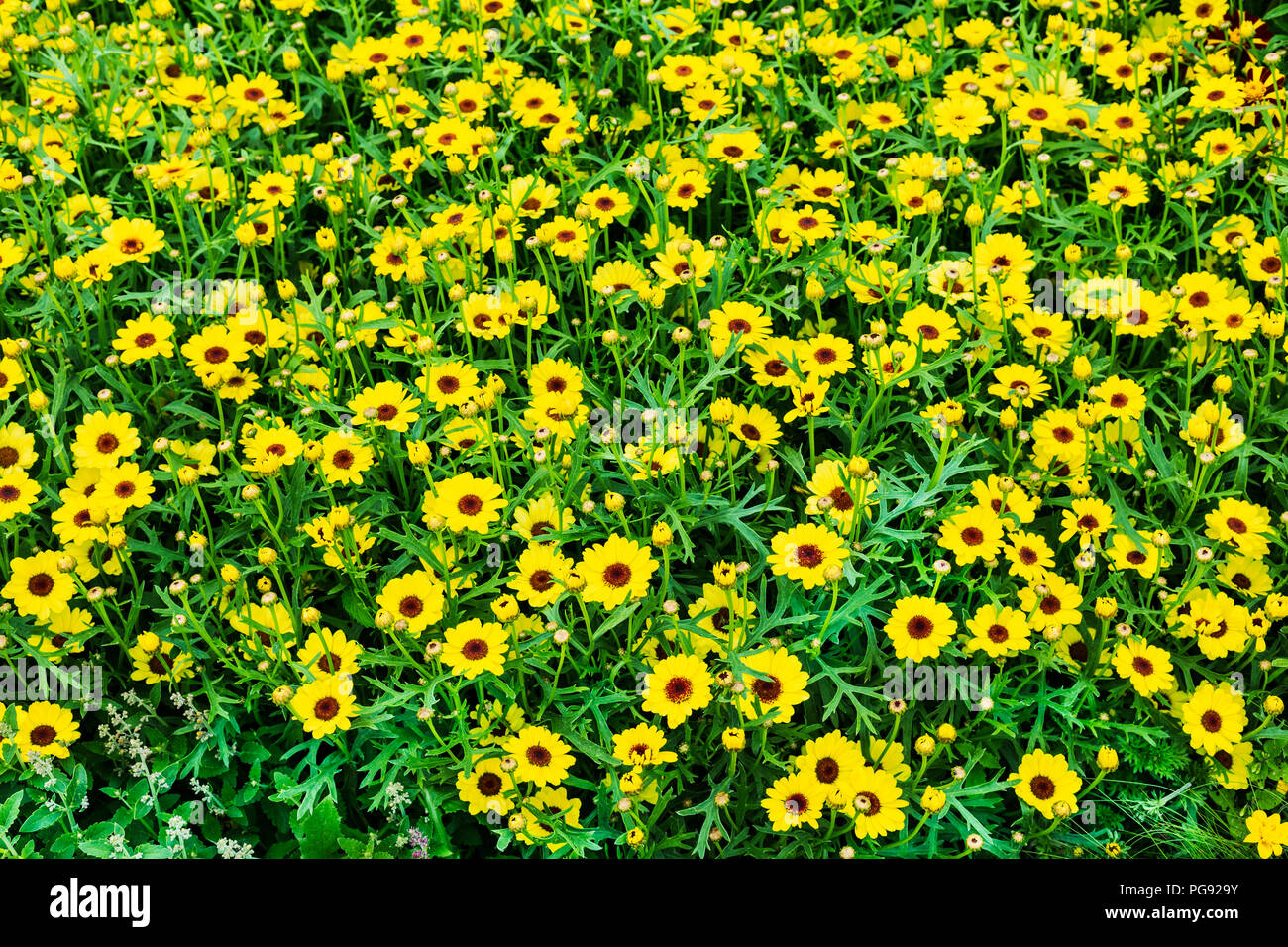 Beautiful Vibrant Yellow Colour Flowers As Background Close Up Stock