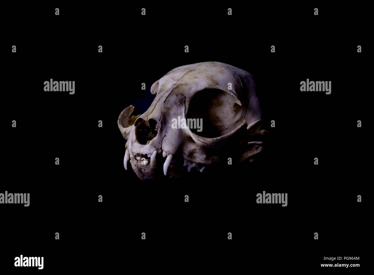 Cat Skull With Black Background Scientific Forensic And Artistic