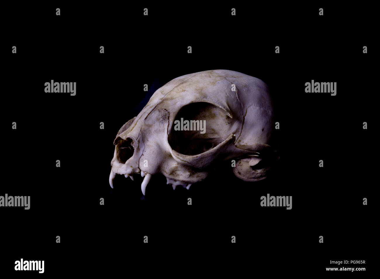 Side view of a cat skull on black background. - Stock Image