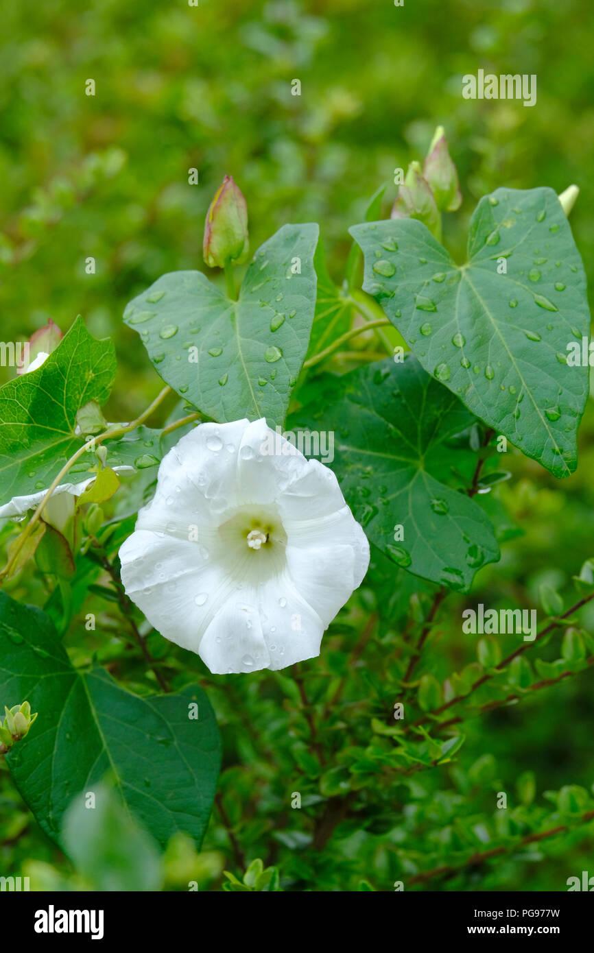Single white bindweed flower after rain shower - Stock Image
