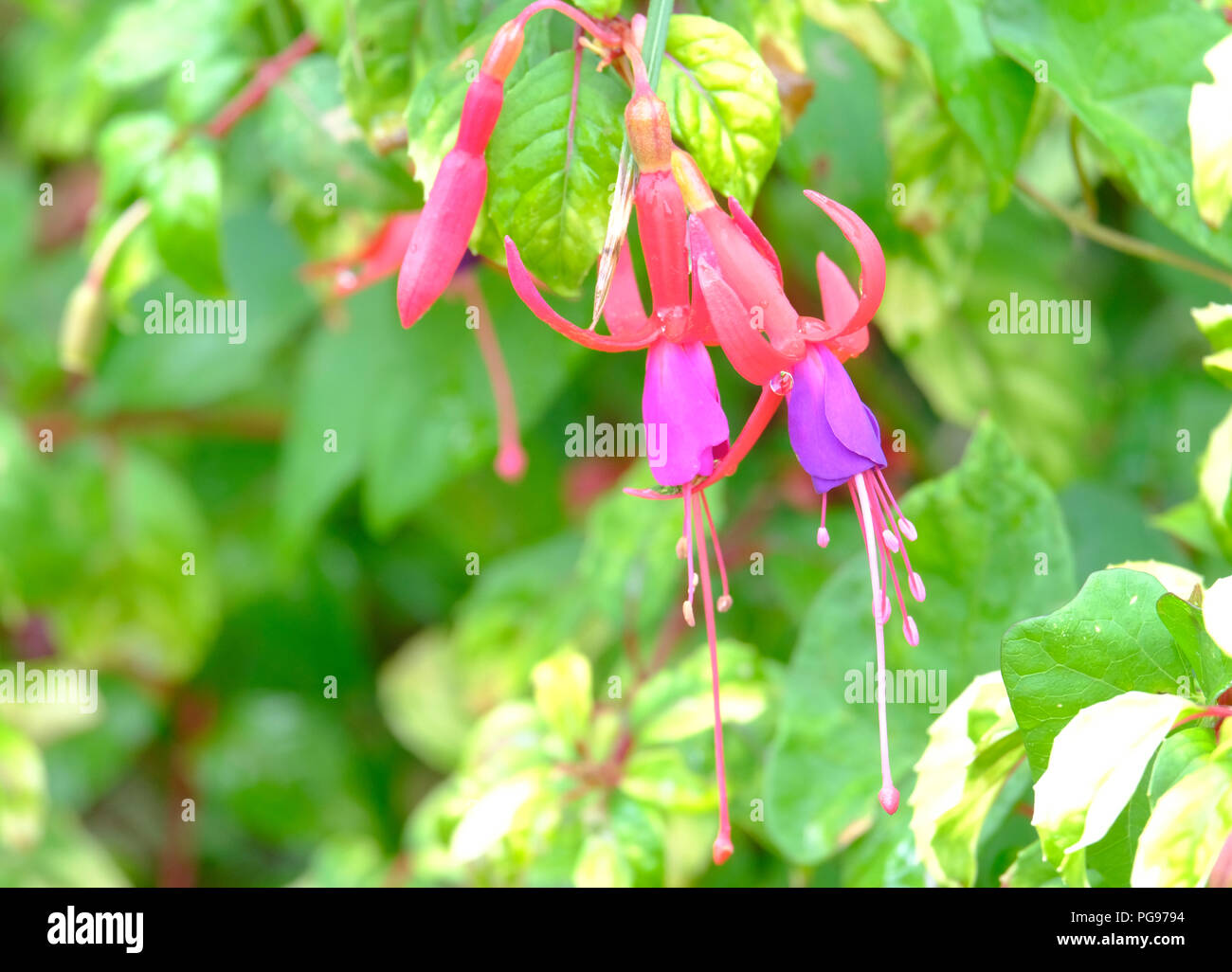 Light pink and lilac Fuschia flowers in late summer - variety unknown - Stock Image