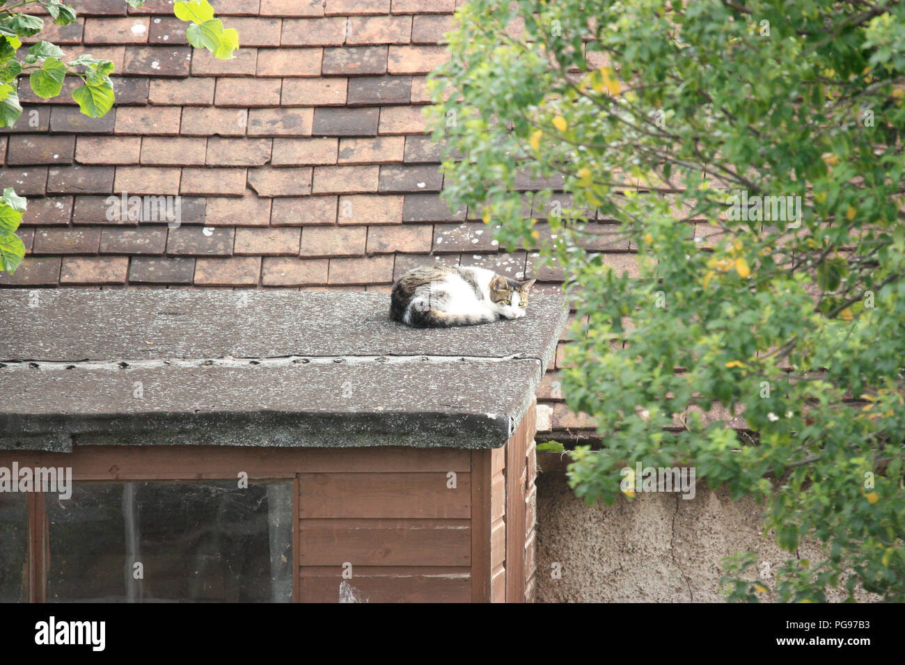 Tabby and white domestic shorthair cat snoozing in the sun in summer on the roof of a garden shed - Stock Image